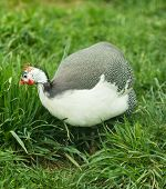 stock photo of guinea  - Wild guinea hen walk in a green grass - JPG