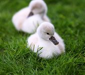 White Swan Cygnets On The Grass