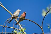 Male And Female House Finch Perched On Branch