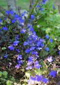 picture of lobelia  - Lobelia is a plant that donates joy to the flower - JPG