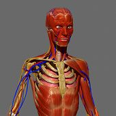 image of skeletal  - The human musculoskeletal system  - JPG