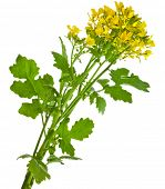 Mustard blooming plant ( Brassica nigra)  isolated on white background