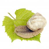 Roman Snail On Grape Leaf Isolated On White Background