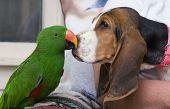 Papagaio-ecletus e Bassett Hound