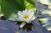Nymphaea.Waterlilies.