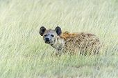 stock photo of hyenas  - African Hyena in a shroud in their natural habitat - JPG