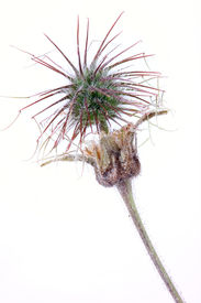 foto of defloration  - Russian folk name of this plant  - JPG
