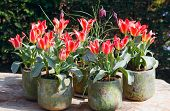 Beautiful Red-white Tulips.