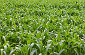 picture of ethanol  - Many trees corn is growing for background - JPG