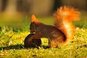 Red Squirrel With Coconut