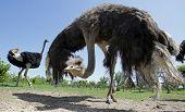 Ostriches In A Farm