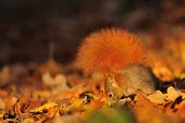 Red Squirrel On The Fallen Leafs