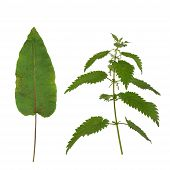 Dock Leaf And Stinging Nettle