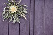 Thistle Flower (Cynara cardunculus) against a purple wooden door