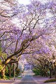 Blooming Jacaranda Trees Lining The Street In South Africa's Capital City, Pretoria