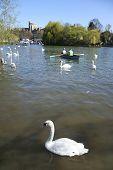 Swans On River Thames Windsor