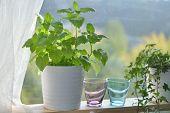 Kitchen garden with melissa in a pot