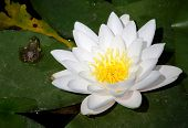 Beautiful White Lilium And A Frog On A Leaf In A Lake