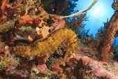 Seahorse underwater on coral reef