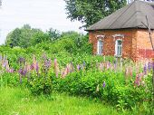 lupines on background of the rural house