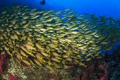 School of fish on coral reef