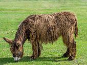Poitou Donkey (poitevin Donkey)