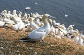 stock photo of gannet  - Northern Gannet on a cliff on Helgoland islands - JPG