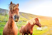 Icelandic Ponies on a farm in Iceland