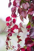 pic of creeper  - Red ivy creeper leaves on the wall of a building - JPG