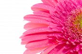 Gerber Flower With Drops Of  Water