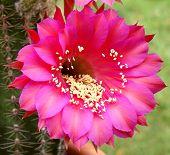Echinopsis Kaktus x Kabarett