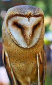 Portrait Of Wild Barn Owl