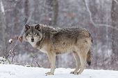 Lone timber wolf in a snow storm