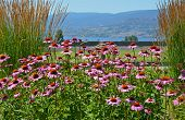 Beautiful Pink Echinacea Garden