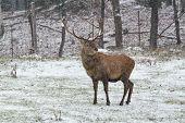 stock photo of bambi  - A lone wapiti in a winter scene - JPG