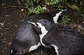 Penguins Sleeping