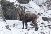 A lone Ibex on a snow and rocky cliff