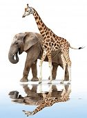 giraffe with elephant reflected on the water surface