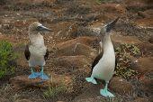 Blue-footed Boobies Dancing in Galapagos Islands