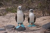 pic of booby  - The blue-footed booby is a marine bird in the family Sulidae, which includes ten species of long-winged seabirds.