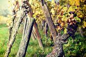 Autumn Vineyard After Harvest