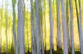 abstract beech forest scene in autumn, Irati Jungle, Pyrenees, Navarra, Spain