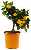 stock photo of pot plant  - Orange tree against white background citrus fruit for decoration - JPG