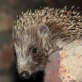 Muzzle Of Small Hedgehog.
