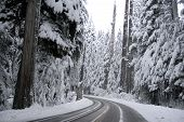 Snow-laden trees in a Mount Rainier forest