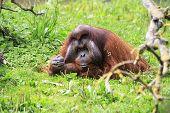 Male Bornean orangutan