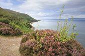 Beautiful blooming heather on the Atlantic coast.