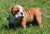 cute puppy standing in the grass - english bulldog