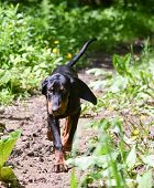 black and tan coonhound walking on a pathway