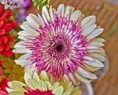 Gerber daisy flower closeup